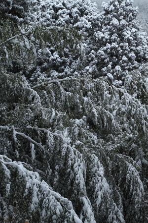 雪の竹林 写真素材 - 76147746