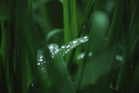 雨草 写真素材 - 76194368
