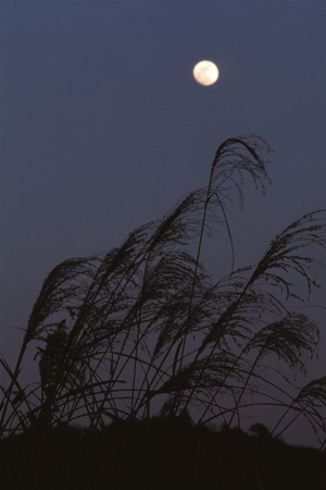 Japanese pampas grass and Moon