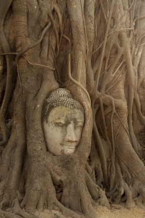 Buddha head encased in tree roots at the temple of Wat Mahatat in Ayutthaya ,Thailand  photo