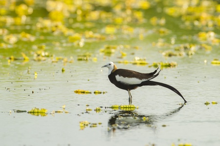 Pheasant-tailed jacana in pool, thailand photo
