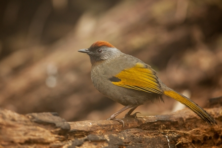 Chestnut-crowned Laughingthrush on log,thailand photo
