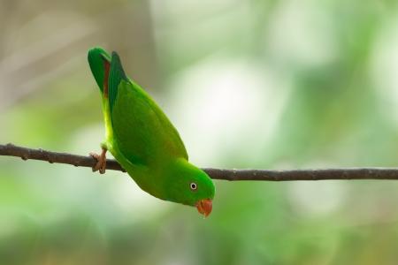 vernal: Vernal Hanging Parrot, thailand Stock Photo