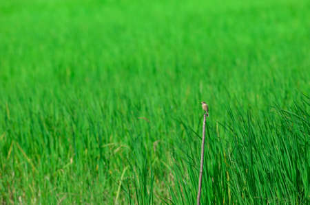 bird in rice plantation , Thailand photo