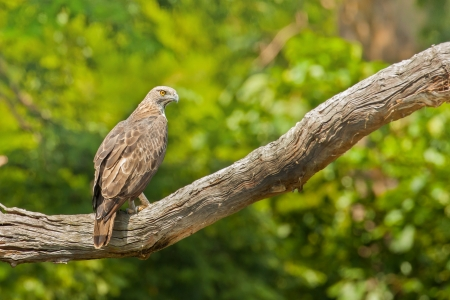 Changeable Hawk-Eagle waiting for food on branch,thailand Stock Photo - 17128649