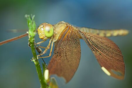 Dragonfly on flower,thailand photo