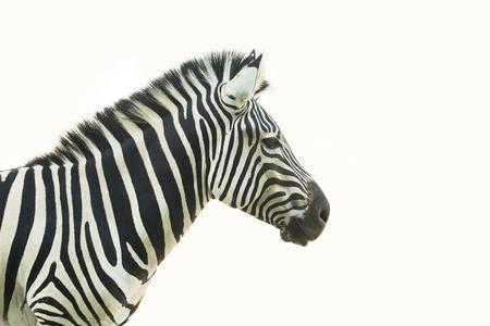 freaked: Headshot of Zebra,thailand