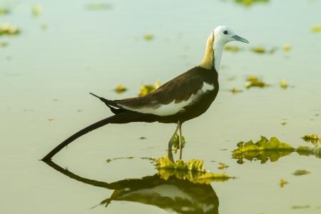 jacana: Pheasant-tailed jacana in pool, thailand