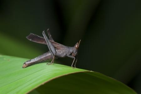 Grasshopper on green leaf,thailand Stock Photo - 17130670