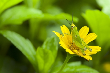 Grasshopper on yellow flower from thailand photo