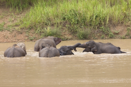 Group of wild elephant take a shower from thailand Stock Photo - 17130683
