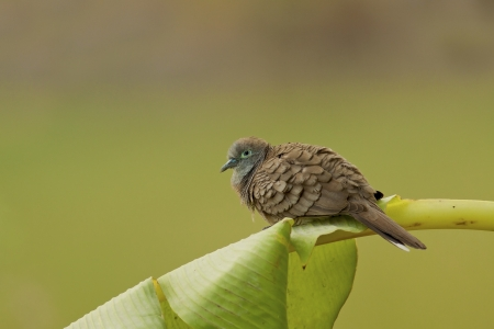 Zebra dove sitting on banana leaf,thailand photo