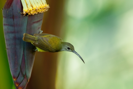 Little Spiderhunter on banana flower, thailand photo