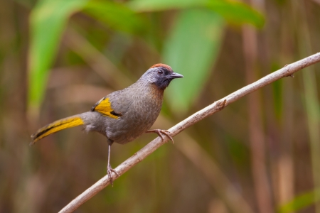 laughingthrush: Chestnut-crowned Laughingthrush on branch,thailand