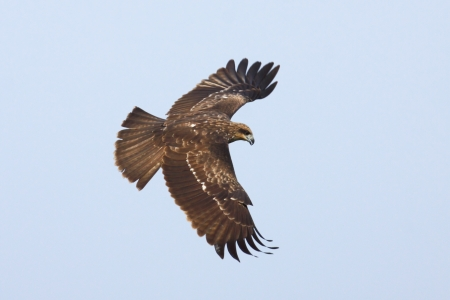 Black kite bird in flight, thailand photo