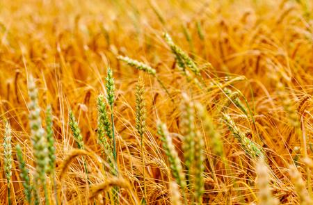 beardless: wheat agriculture Stock Photo