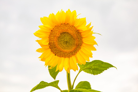 view of isolated yellow sunflower Stock Photo