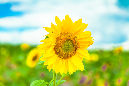 view of a single sunflower and a sunflower field in the background Stock Photo