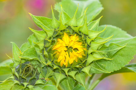 view of a single sunflower Stock Photo