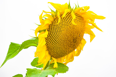 incommunicado: view of a isolated sunflower from down