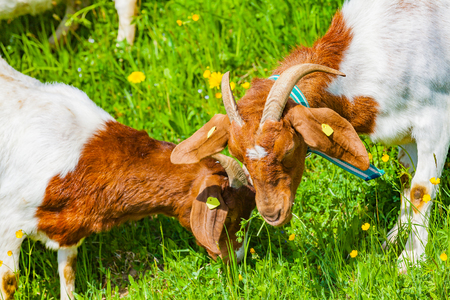 view of goat family on farm