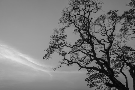 Big tree have old branch is silhouette beautiful. photo