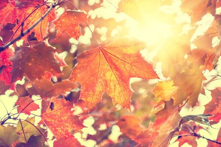 fall landscape: Yellow and red maple leaves in forest at sunny day. Beautiful autumn landscape, fall scene. Creative vintage filter, selective focus Stock Photo