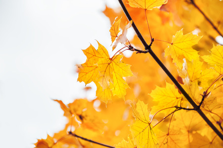 Yellow leaves in forest. Beautiful autumn landscape, fall scene. Selective focus