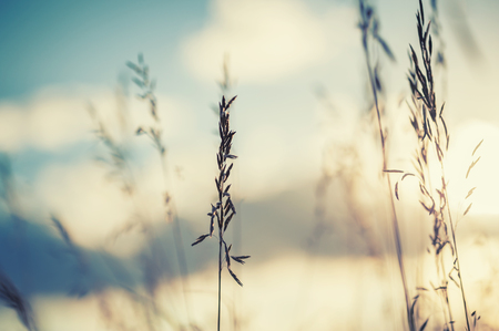 Macro image of wild grasses at sunset, small depth of field. Vintage effect. Beautiful rural nature