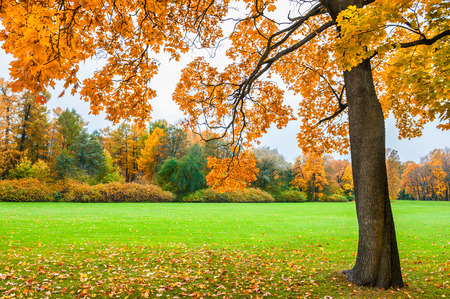 fall landscape: Beautiful maple with yellow leaves in the park. Autumn landscape, fall scene.