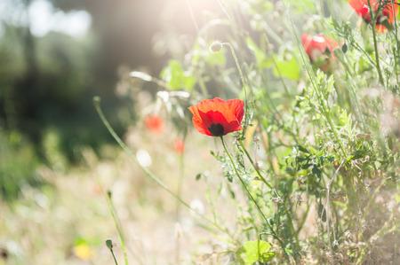 campo de flores: Prado del bosque con flores de amapolas rojas y hierbas. Enfoque selectivo. Hermoso paisaje de verano