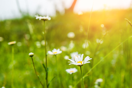 feld: Green grass in the meadow and camomile flowers. Beautiful summer landscape. Soft focus. Summer background