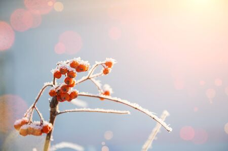 frost winter: Rowan berries in the frost. Winter background. Beautiful winter nature