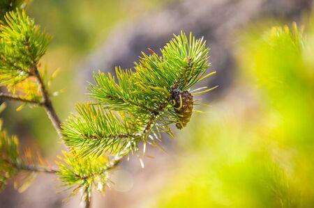 sharpness: Green pine branch. Small depth of sharpness