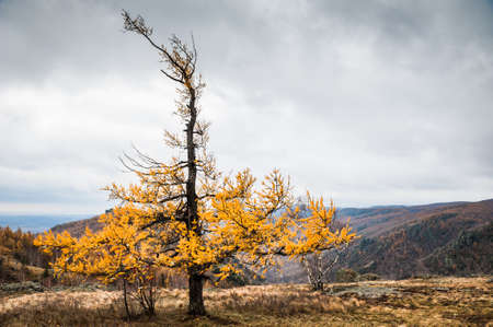 larch tree: Yellow larch tree in the mountains. Autumn landscape