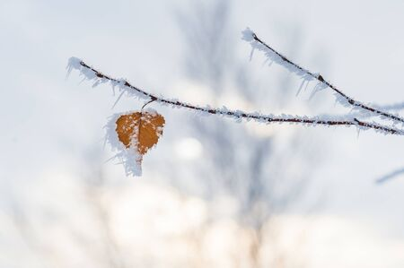 frost winter: heart-shaped leaf in the winter frost Stock Photo
