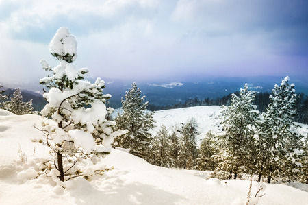 a wonderful world: Beautiful winter landscape with pine in winter forest