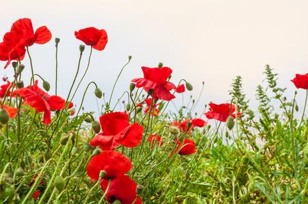 Field with a beautiful red poppy flowers santorini island greece field with a beautiful red poppy flowers santorini island greece soft focus stock mightylinksfo