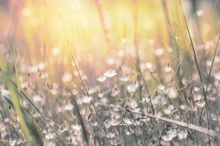 Grass and little white flowers on the field at sunset. Beautiful summer landscape. Soft focus. Creative toning effect Stok Fotoğraf