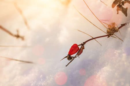 macro image: Red berry briar in the snow. Beautiful winter nature. Macro image with small depth of field