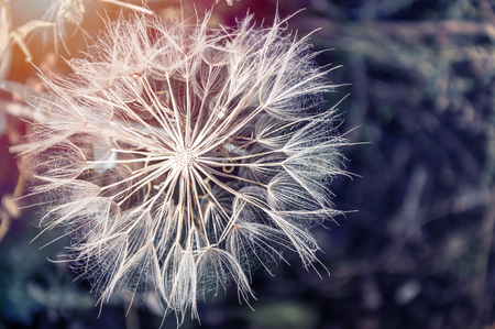 Macro image of big beautiful dandelion. Small depth of field. Creative vintage filter, retro effect 写真素材
