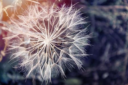 Macro image of big beautiful dandelion. Small depth of field. Creative vintage filter, retro effect Standard-Bild