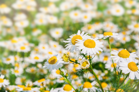 field of flower: Daisies in a field. Flower background. Small depth of field