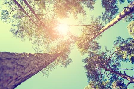 Bosque de pinos en el día soleado. Hermoso paisaje de verano. Efecto de la vendimia Foto de archivo