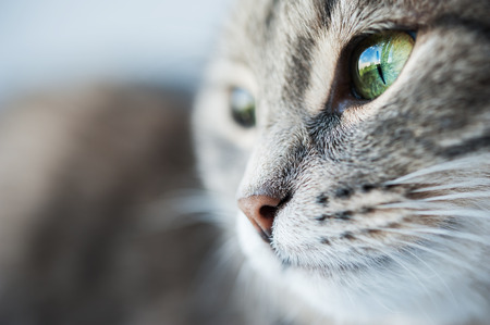 close portrait: Portrait of green-eyed cat. Macro image with selective focus Stock Photo