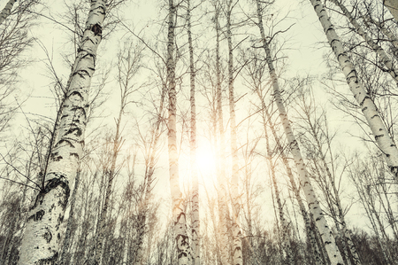 vintage landscape: Sunset in winter birch forest. Beautiful winter landscape. Vintage filter, retro effect Stock Photo