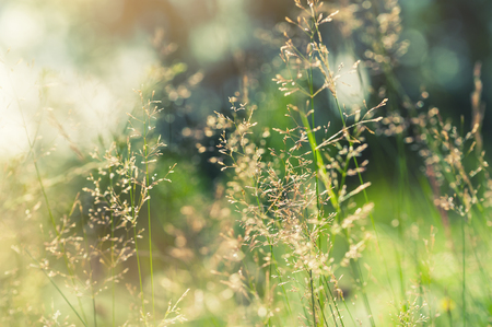 Green grass in the field with sunbeams. Blurred summer background, selective focus.