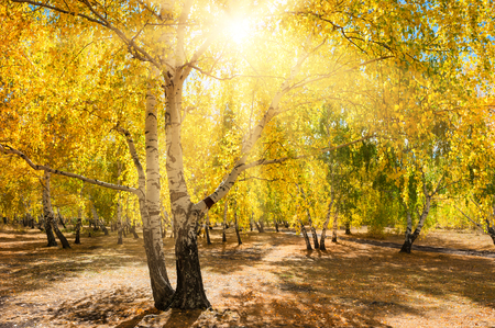 orange tree: Yellow trees in autumn forest at sunny day. Beautiful autumn landscape, fall scene. Stock Photo