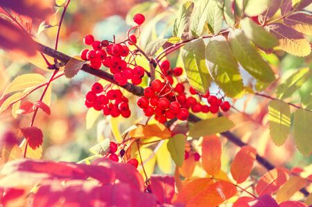 rowan tree: Autumn rowan tree with red berries and colorful leaves. Selective focus. Vintage effect Stock Photo