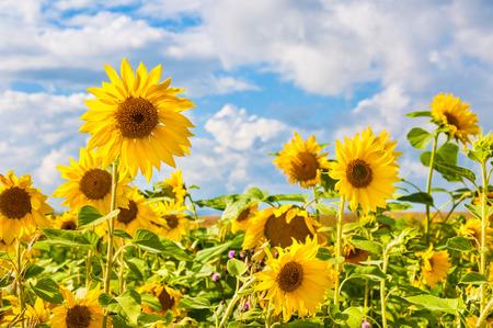 girasol: Campo de girasoles amarillos. paisaje de verano.